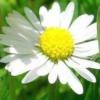 Лечение ромашкой: свойства и польза