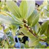 Полезные свойства лаванды и лаврового листа