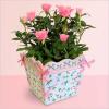 Комнатная роза: как ухаживать за розами в домашних условиях